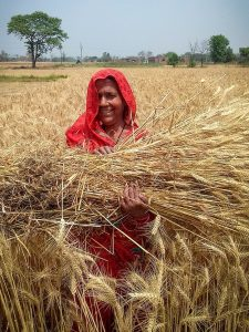 IEG Developing Biofortified Crop Value Chains for Nutritional Security in South Asia - woman in field