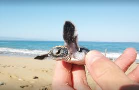 Baby Turtle in Northen Cyprus
